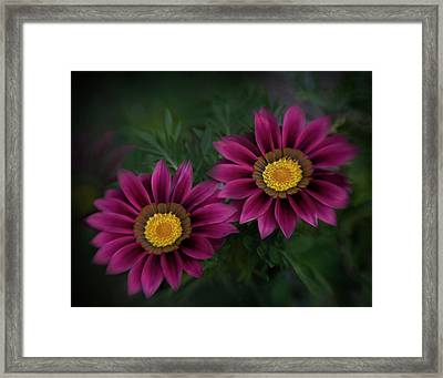 Framed Print featuring the photograph Magenta African Daisies by David and Carol Kelly