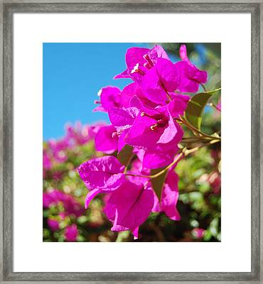 Magenta Bougainvillea Framed Print by Jean Booth