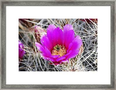 Magenta Cactus Flower Framed Print by Jon Rossiter
