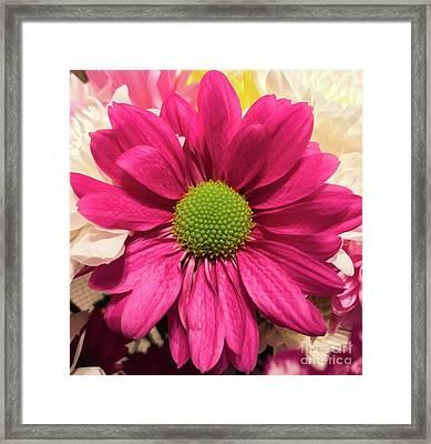 Magenta Chrysanthemum Framed Print