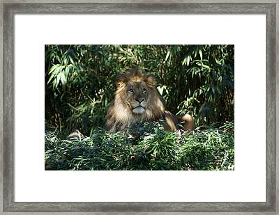 Magestic Lion Framed Print by Heidi Poulin