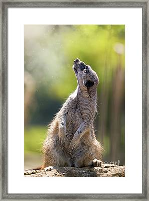 Magical Meerkat Framed Print by Jane Rix