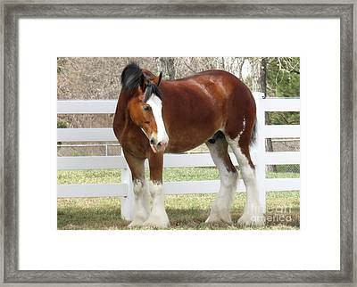 Magnificant Horses - The Clydesdales -11 Framed Print by Diane M Dittus