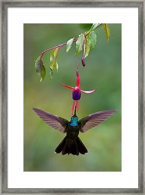 Magnificent Hummingbird Eugenes Fulgens Framed Print