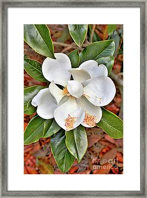 Magnificent Magnolia Framed Print