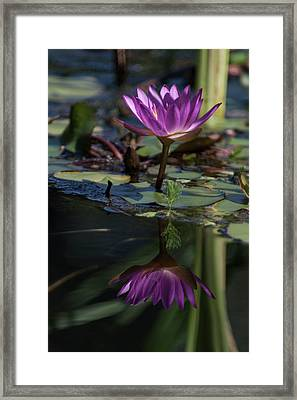 Magnificent Water Lily V Framed Print by Suzanne Gaff