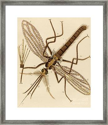 Magnified Mosquito Framed Print by German School