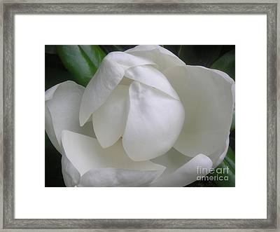 Magnolia Begins Its Blooming Framed Print by Lucyna A M Green