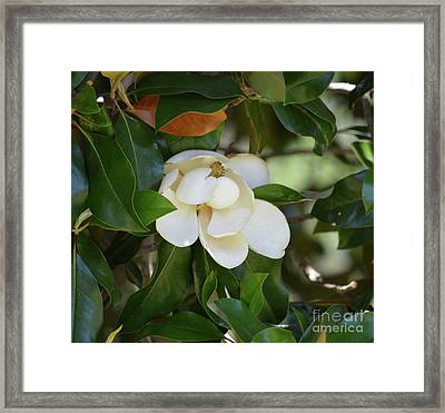 Magnolia Blossom 2 Framed Print by Ruth Housley