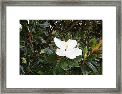 Framed Print featuring the photograph Magnolia Blossom by Linda Geiger