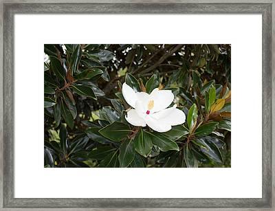 Magnolia Blossom Framed Print by Linda Geiger