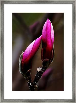 Magnolia Buds Framed Print by Kathleen Stephens