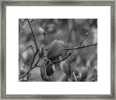 Magnolia Bw Blooms Buds Branches Framed Print