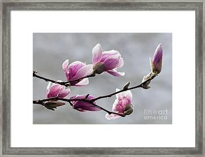Magnolia - D009876 Framed Print
