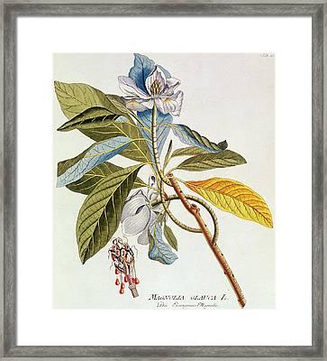 Magnolia Glauca Framed Print by German School