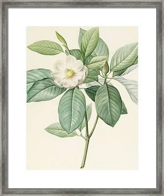 Magnolia Glauca Framed Print by Pierre Joseph Redoute