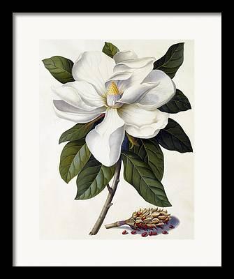 Magnolia Grandiflora Framed Prints