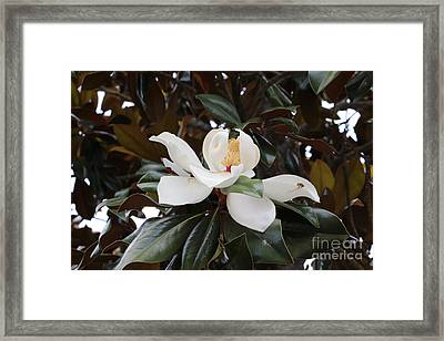 Magnolia Grandiflora With Leaves Framed Print