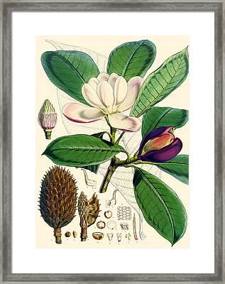 Magnolia Hodgsonii Framed Print by Joseph Dalton Hooker