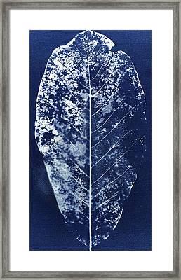 Magnolia Leaf Skeleton Framed Print by Elspeth Ross