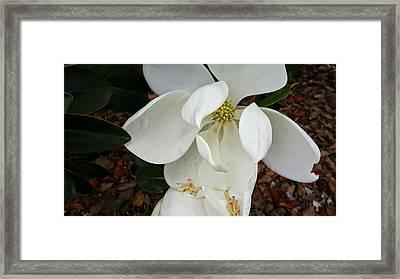 Magnolia Framed Print by Matthew Bamberg