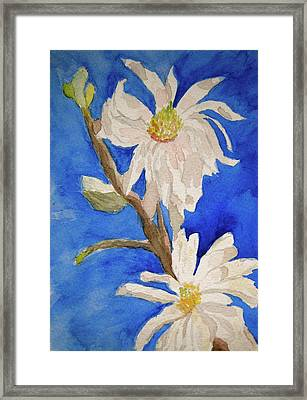 Magnolia Stellata Blue Skies Framed Print by Beverley Harper Tinsley