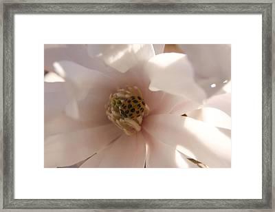 Magnolia Stellata II Framed Print