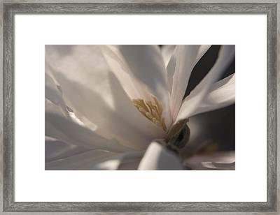 Magnolia Stellata IIi Framed Print