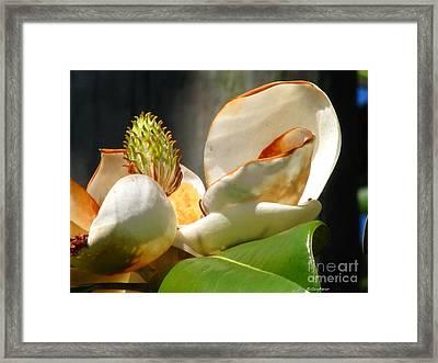 Magnolia Sunburn Framed Print by Greg Patzer