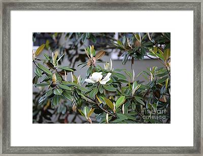 Magnolia Time Framed Print