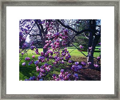 Magnolia Tree Gettysburg Pa Framed Print by Eric  Schiabor
