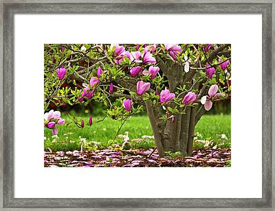 Magnolia Tree Framed Print