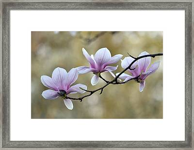 Magnolia Trio Framed Print by Ann Bridges