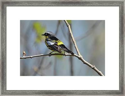 Magnolia Warbler II Framed Print