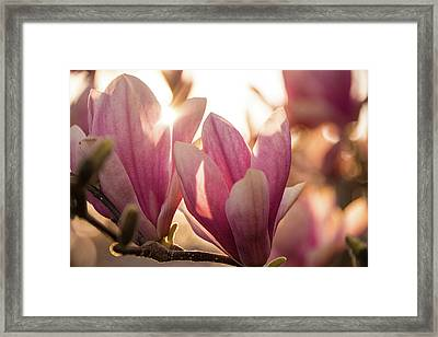 Magnolias At Sunset Framed Print