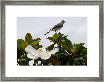 Magolia Bloom With Mocking Bird Framed Print by Julie Cameron