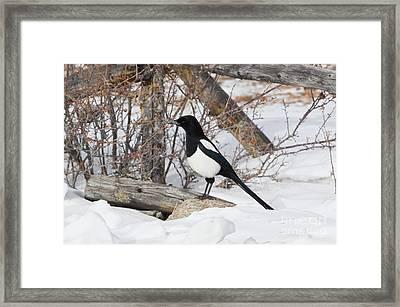 Magpie - 6892 Framed Print