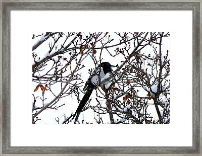Framed Print featuring the photograph Magpie In A Snowstorm by Will Borden