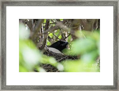 Magpie In The Nest Framed Print