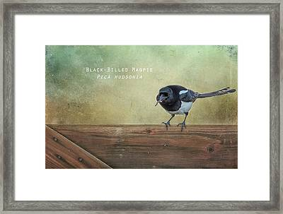 Magpie With A Worm Framed Print