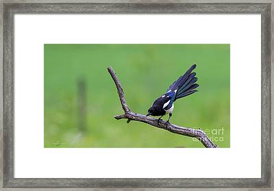 Magpie's Tail Framed Print