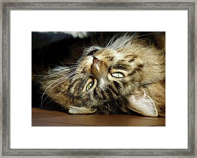 Framed Print featuring the photograph Main Coon, Crazy. by Roger Bester