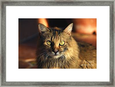 Main Coone Framed Print by David Lee Thompson
