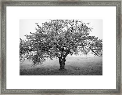 Framed Print featuring the photograph Maine Apple Tree In Fog by Ranjay Mitra