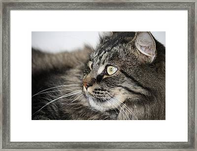 Maine Coon Cat Framed Print by Mary-Lee Sanders