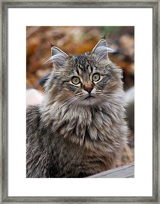 Framed Print featuring the photograph Maine Coon Cat by Rona Black