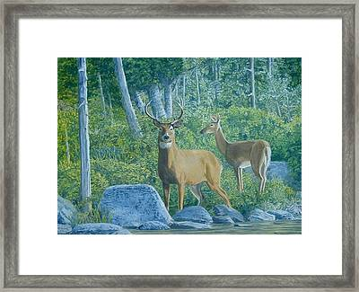 Maine Deer Framed Print by Lee Thomason