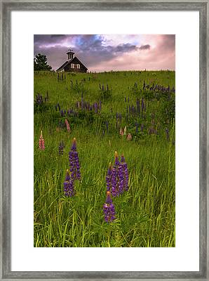 Maine Lupines And Home After Rain And Storm Framed Print