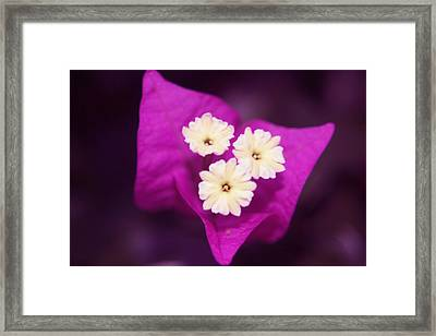 Majenta  Flower Framed Print