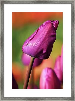 Majenta Framed Print
